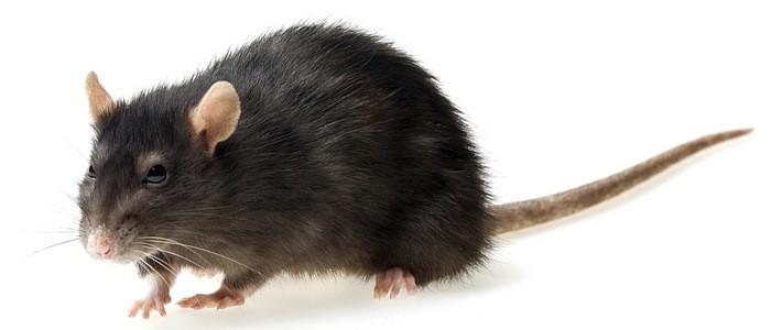 К чему снится серая крыса женщине